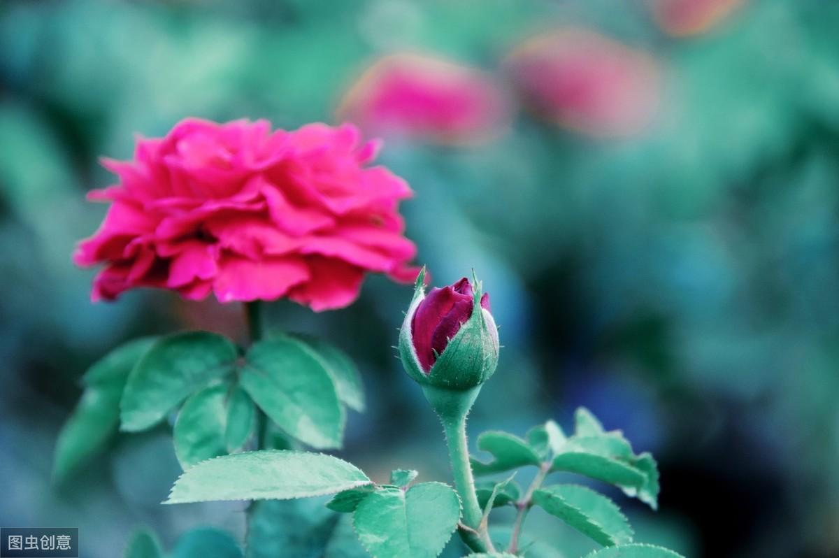 树状棒棒糖盆栽欧月季花卉植物四季玫瑰花苗