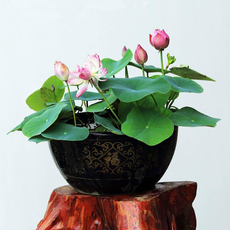 水养花卉碗莲荷花种子水生植物优惠券