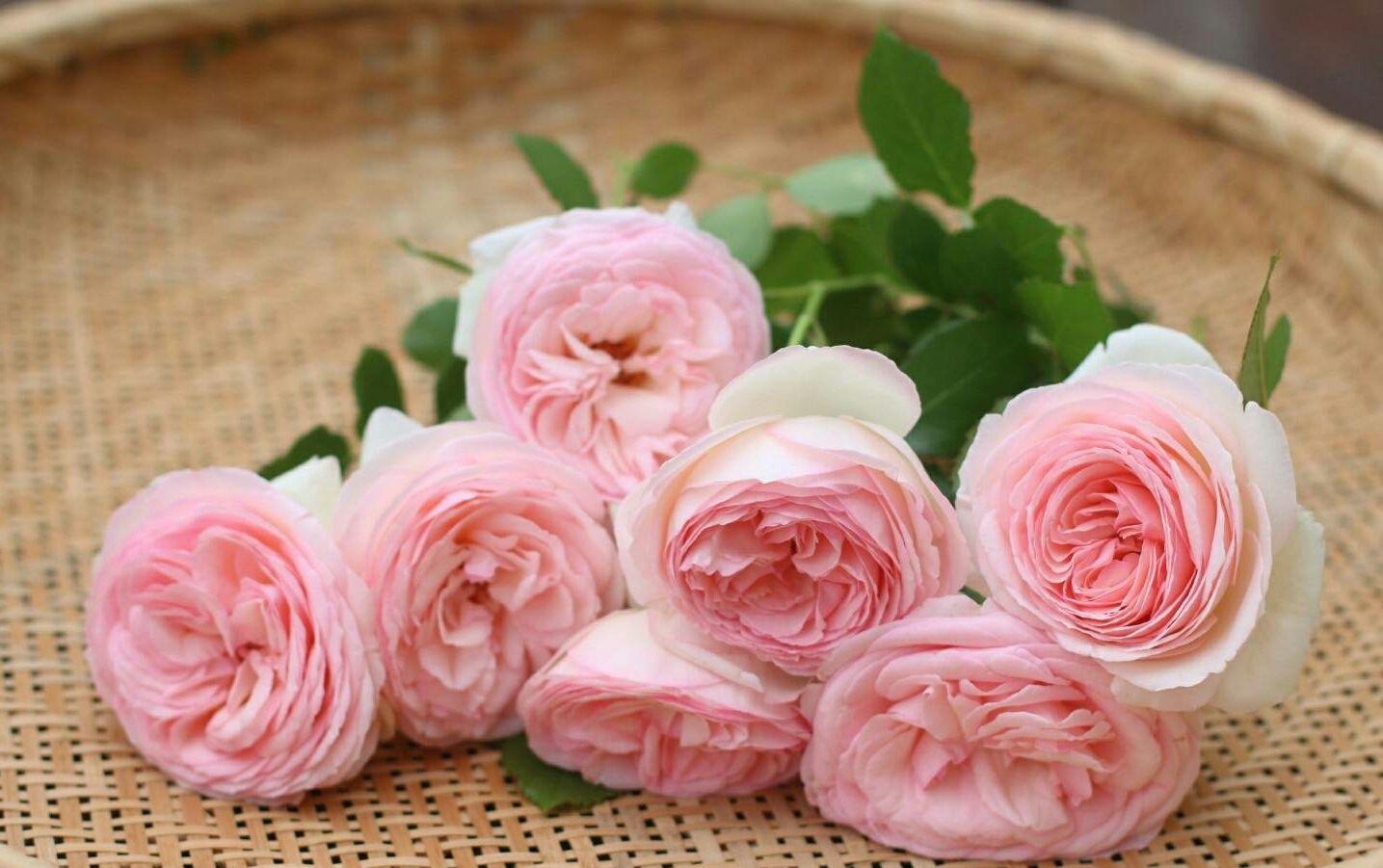 月季花苗红龙沙宝石藤本阳台盆栽多季开花